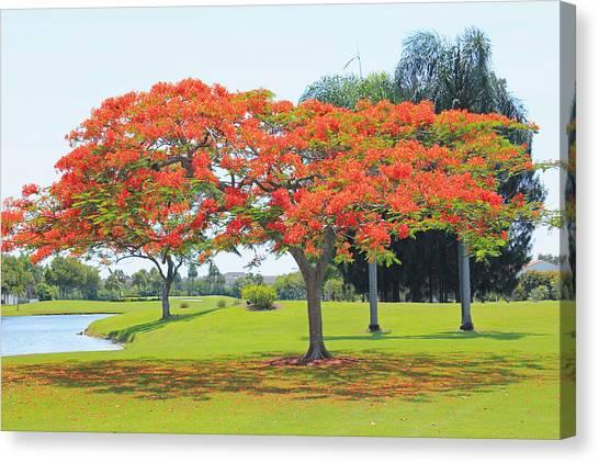 Flame Tree Canvas Print