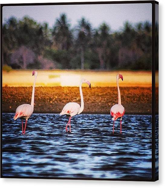 Kenyan Canvas Print - Flamingo In Malindi by Federico Senesi