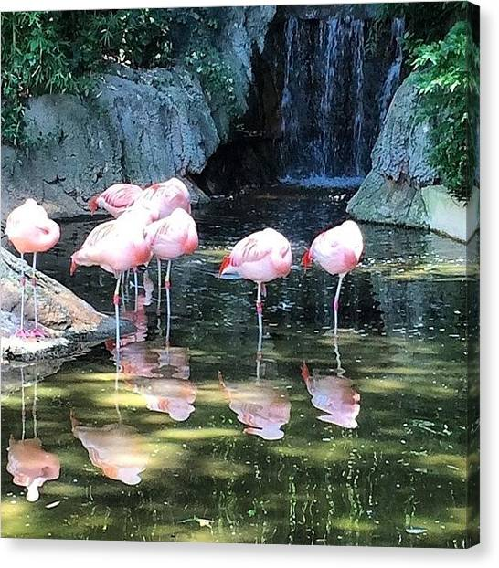 Flamingos Canvas Print - #flamingo #zoo #artist #art #portrait by Josh  Brackenridge