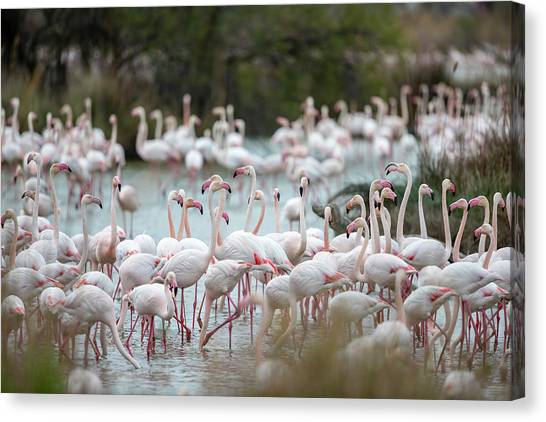 Flamingoes In Swamp Canvas Print by Raffi Maghdessian