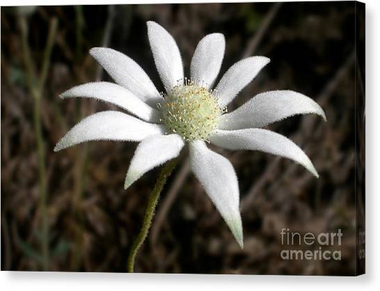 Flannel Canvas Print - Flannel Flower by Kaye Menner