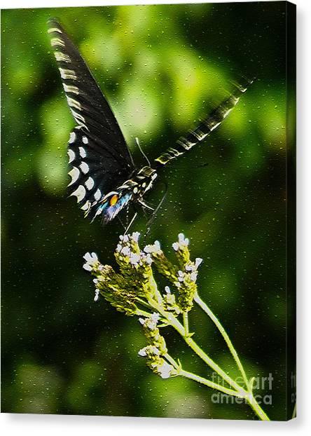Flattering Flutter Canvas Print
