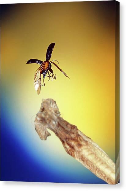 Fleas Canvas Print - Flea Beetle (phyllotreta Sp.) by Dr. John Brackenbury/science Photo Library