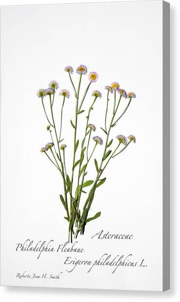Fleabane Canvas Print