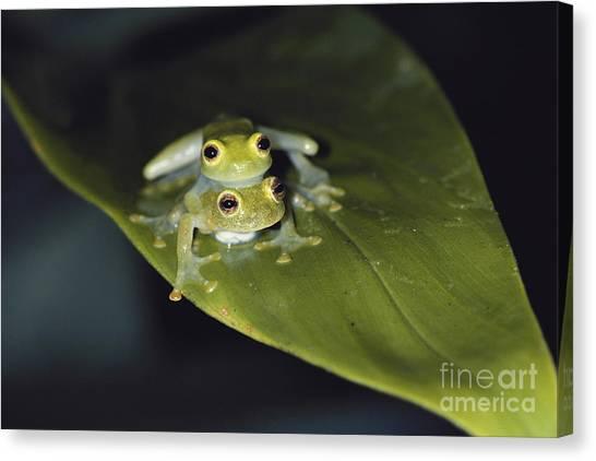Monteverde Canvas Print - Fleischmanns Glass Frogs by Gregory G. Dimijian, M.D.