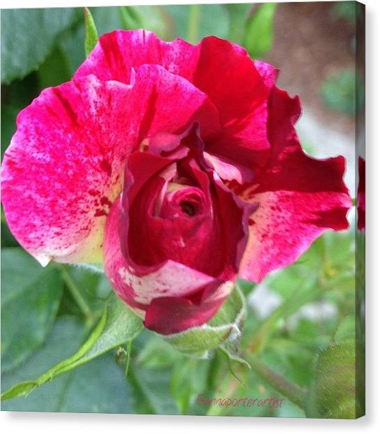 Red Roses Canvas Print - Fleurie - Rosebud by Anna Porter