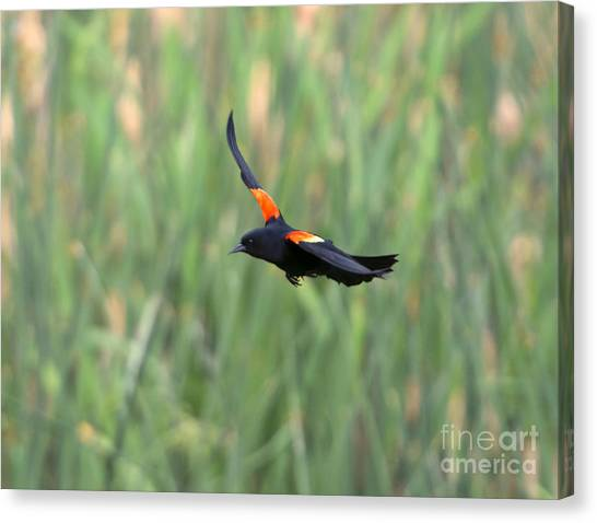 Blackbirds Canvas Print - Flight Of The Blackbird by Mike  Dawson