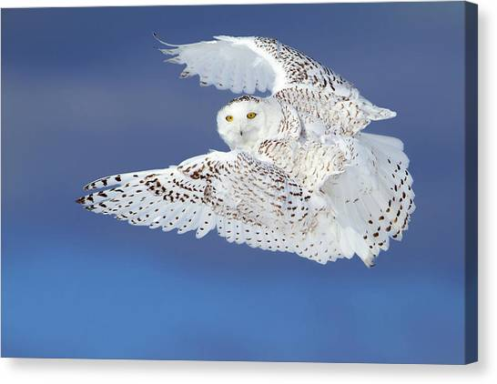 Ontario Canvas Print - Flight Of The Snowy - Snowy Owl by Jim Cumming