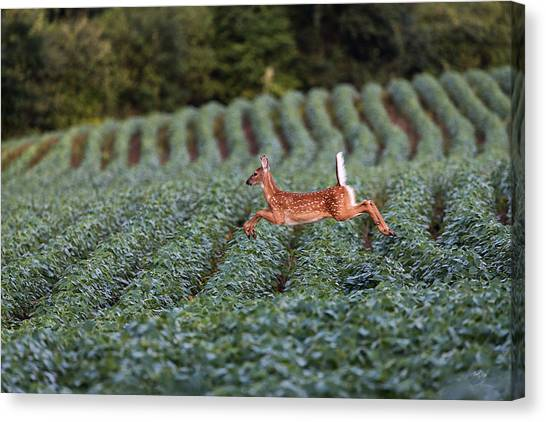 Deer Canvas Print - Flight Of The White-tailed Deer by Everet Regal