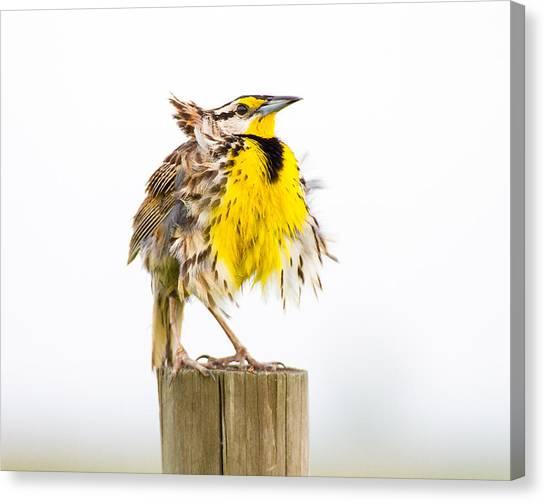 Meadowlarks Canvas Print - Flluffy Meadowlark by Bill Swindaman