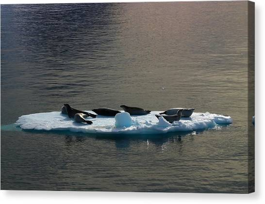 Antarctica Canvas Print - Floating Crabeaters by FireFlux Studios