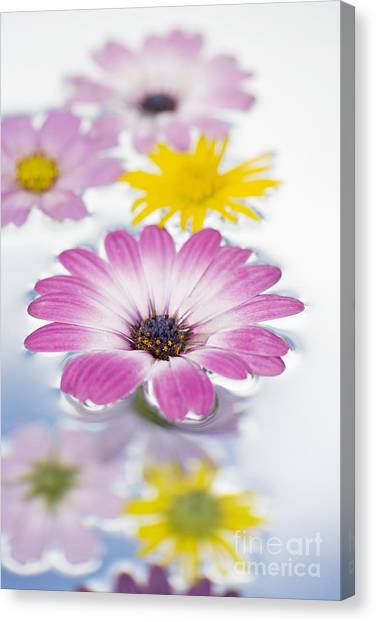 Cosmos Flower Canvas Print - Floating Flowers by Tim Gainey