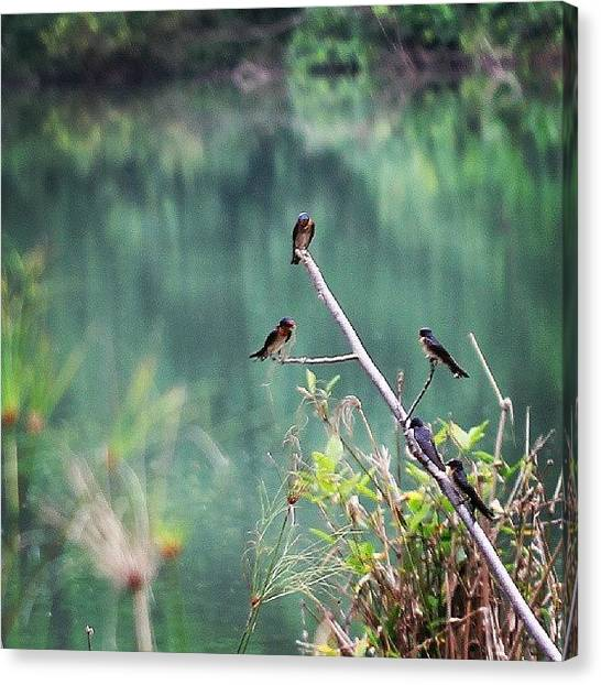 Swallows Canvas Print - #flock Of #pacific #swallows by Leon Traazil