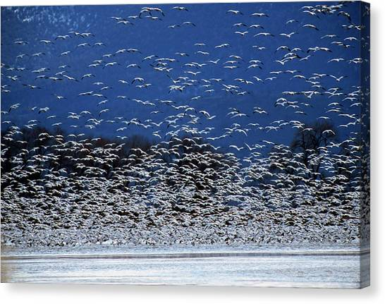 Canvas Print - Flock Of Rosss Geese, Chen Rossii by Cagan H. Sekercioglu