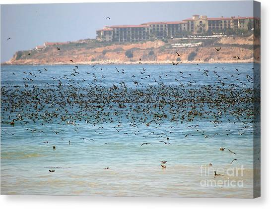 Flocking At Terranea Canvas Print