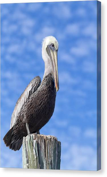 Florida Wildlife Canvas Print - Florida Brown Pelican by Kim Hojnacki