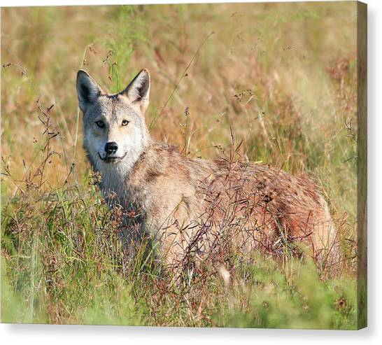Florida Coyote In A Field Canvas Print