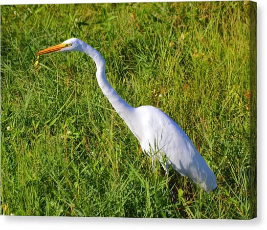 Herons Canvas Print - Florida Heron  by Doug Grey