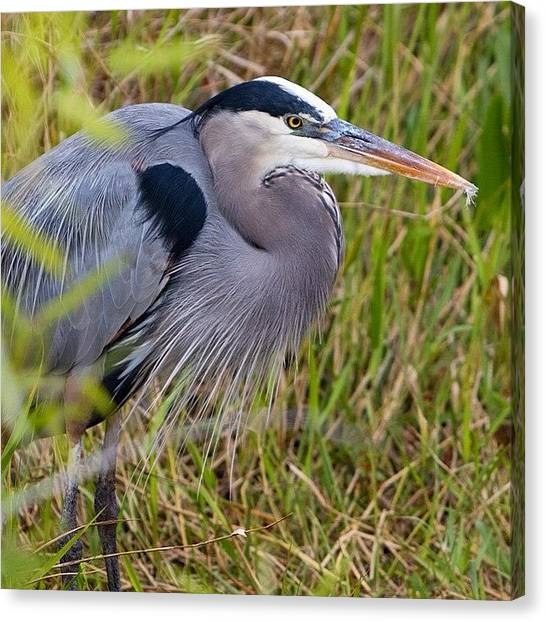 Herons Canvas Print - Bird Paradise by Tiffany Wuest