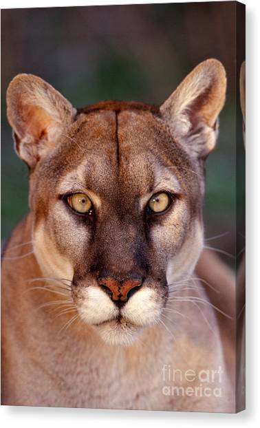 Florida Panthers Canvas Print - Florida Panther by Tom and Pat Leeson