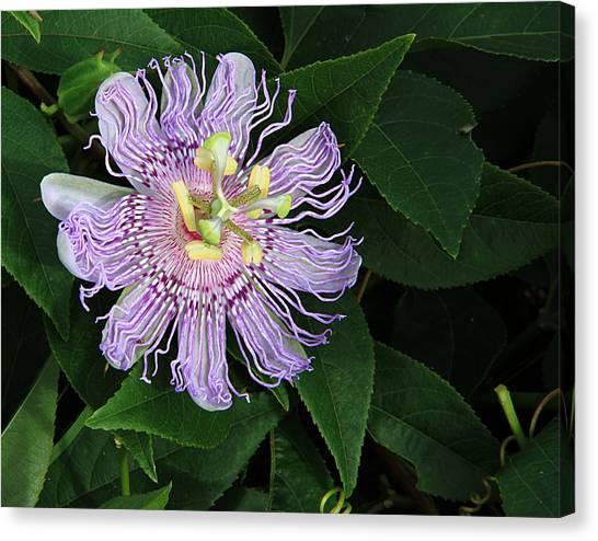 Florida Passion Flower Canvas Print