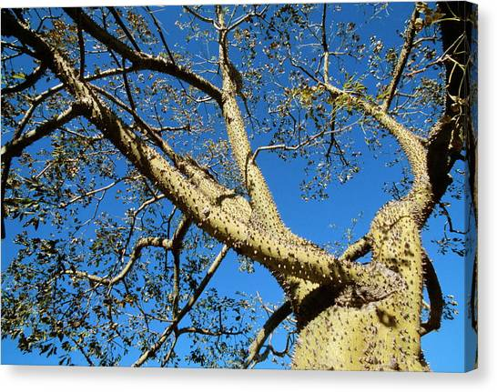 Floss Canvas Print - Floss-silk Tree by Philippe Psaila/science Photo Library
