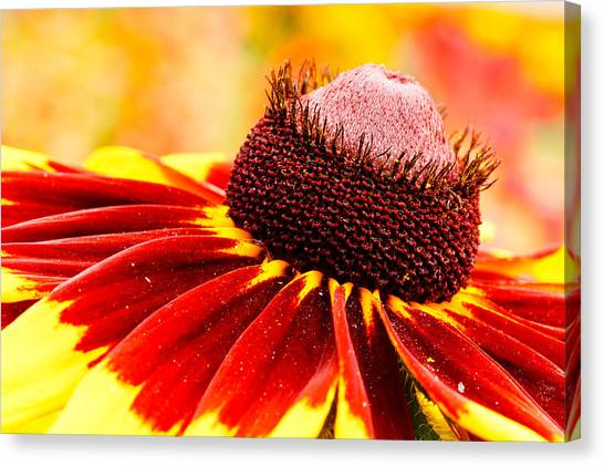 Black Eyed Susan Hybrid Canvas Print