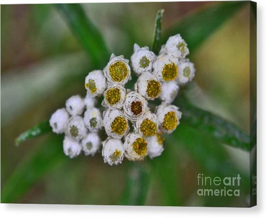 Canvas Print featuring the photograph Flower Buttons by Mae Wertz