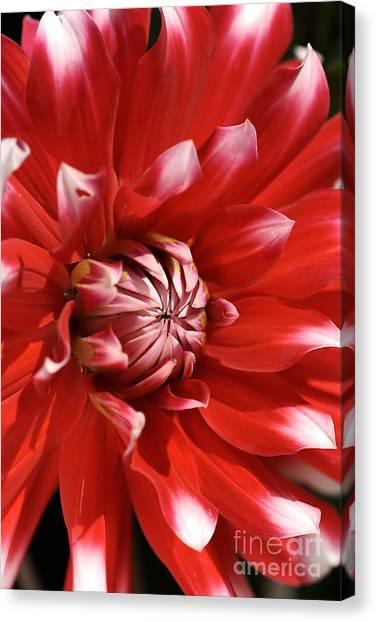 Flower- Dahlia-red-white Canvas Print