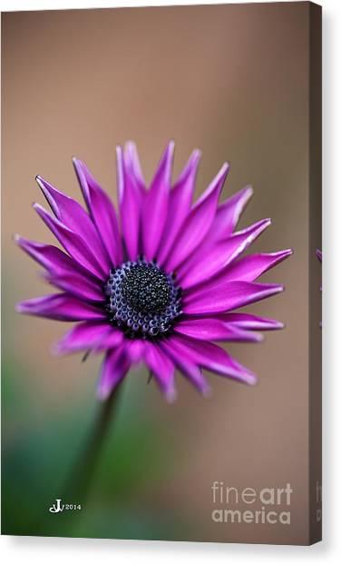 Flower-daisy-purple Canvas Print