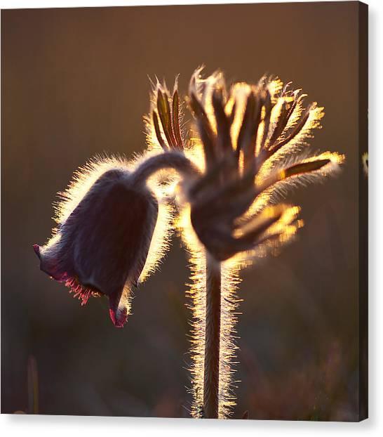 Flower In Back Light Canvas Print