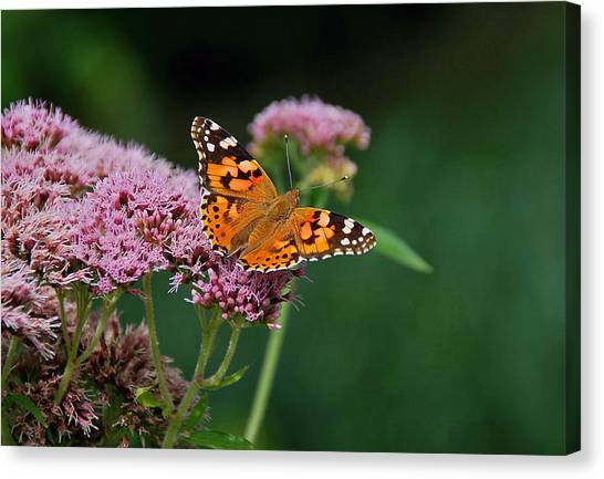 Flower Kissed By Butterfly Canvas Print by Judith Russell-Tooth