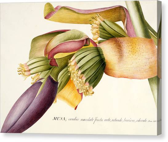 Banana Tree Canvas Print - Flower Of The Banana Tree  by Georg Dionysius Ehret