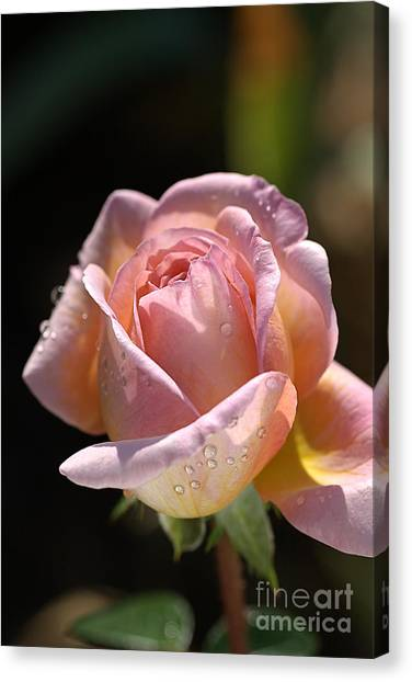 Flower-pink And Yellow Rose-bud Canvas Print