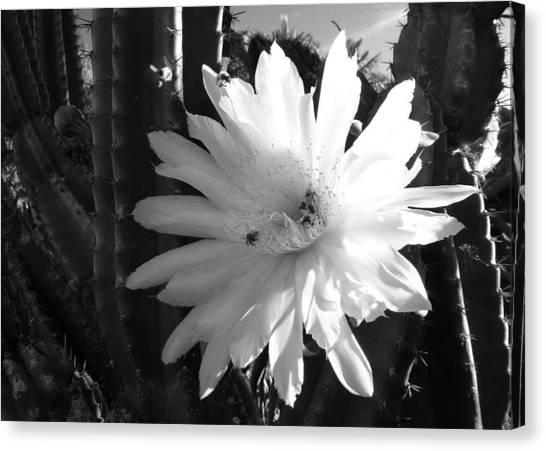 Flowering Cactus 1 Bw Canvas Print