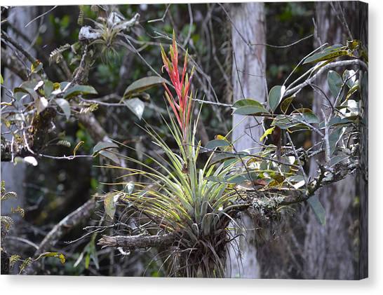 Flowering Everglades Air Plant Epiphyte Bromeliad Canvas Print