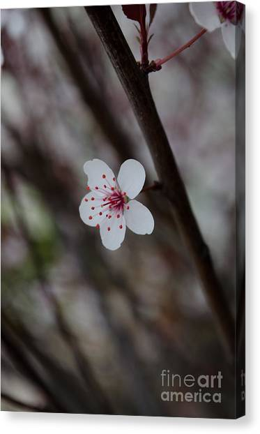 Flowering Plum 3 Canvas Print