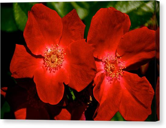 Flowering Reds Canvas Print by Kathi Isserman