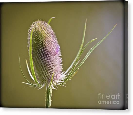 Flowering Teasel. Canvas Print