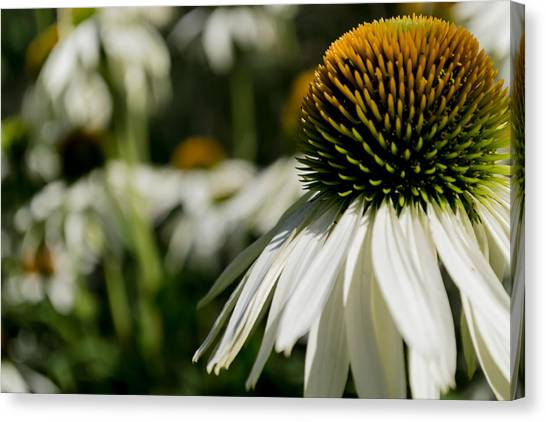 Flowers - Echinacea White Swan Canvas Print