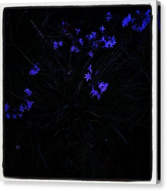 Purple Canvas Print - Flowers Like Stars by CML Brown