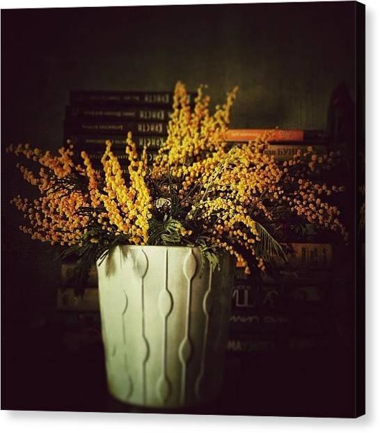 Mimosa Canvas Print - #flowers #spring #mimosa #beautiful by Levshinamarlen LEVSHINA