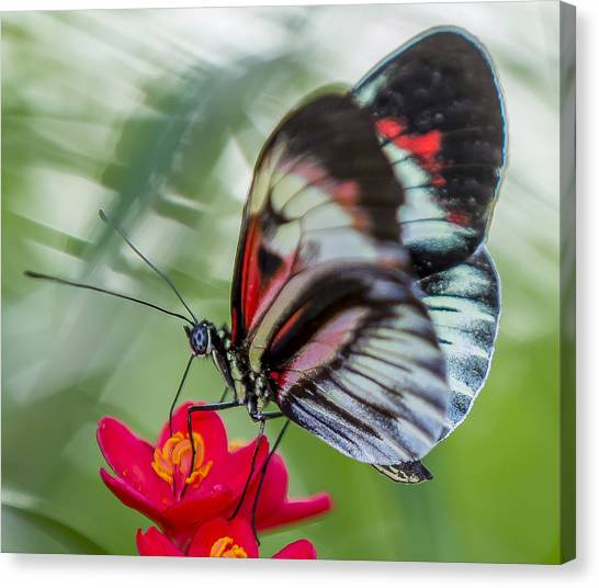 Fluttering Piano Key Butterfly Canvas Print