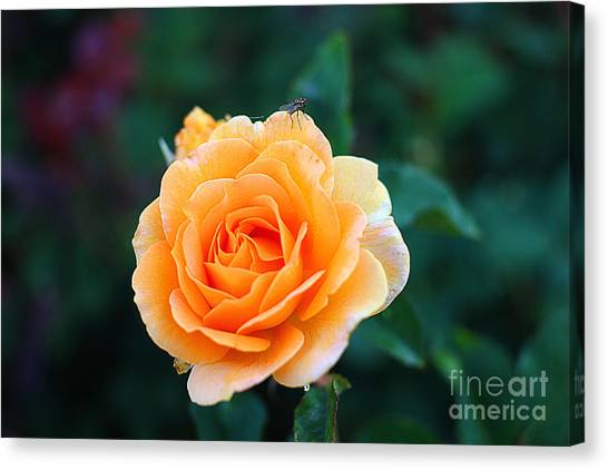 Fly On A Rose Canvas Print