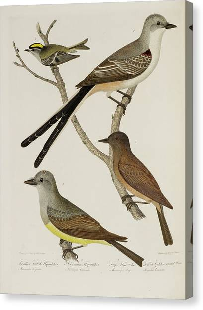 Flycatchers Canvas Print - Flycatcher And Wren by British Library