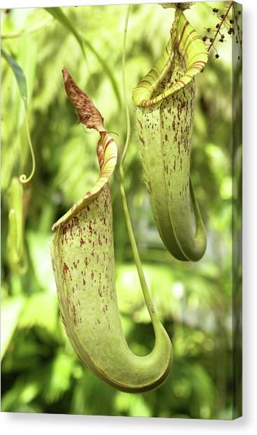 Iguazu Falls Canvas Print - Flycatcher Carnivorous Plant by Steve Allen/science Photo Library