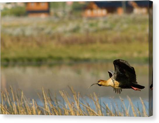Ibis Canvas Print - Flying Black-faced Ibis (theristicus by Howie Garber