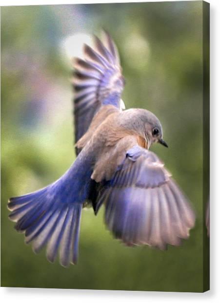 Flying Bluebird Canvas Print