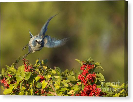 Flying Florida Scrub Jay Photo Canvas Print
