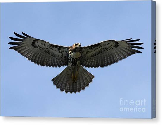 Flying Free - Red-tailed Hawk Canvas Print